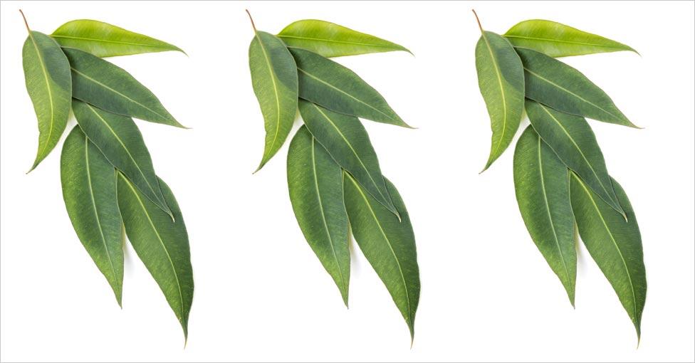 Eucalyptus for Hair