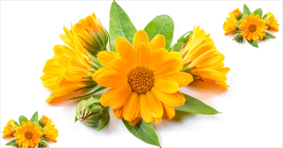 calendula herbal oil
