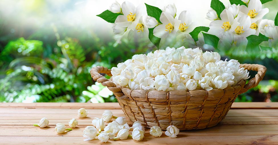Jasmine oil essential oils ingredients skin care ingredients it is known for calming you down getting stressed at work dont get sleep at night well it is time for a good massage with jasmine oil mightylinksfo